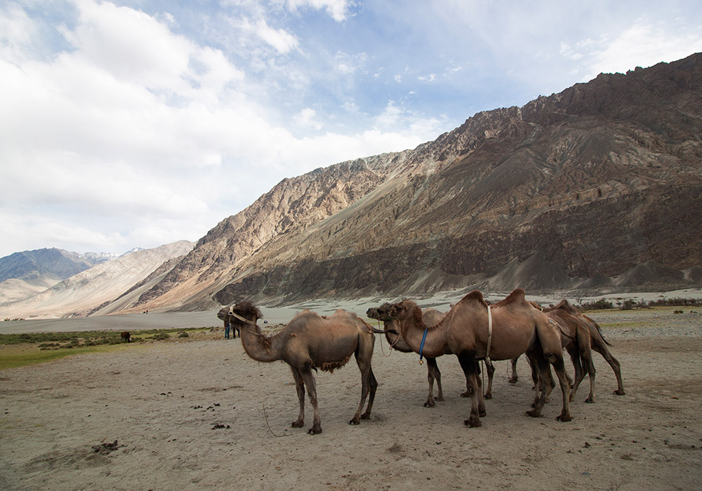 Camel Rides at Nubra valley